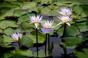 Water Lillies (Nymphaea sp.)